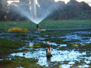 bird sprinkler